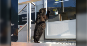 صورة للدبة الصغيرة حيث تم الإمساك بدبة صغيرة بدون وثائق سفر أثناء عبوره الحدود الكندية الأمريكية